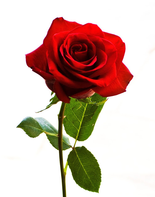 """Résultat de recherche d'images pour """"rose"""""""