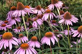 """Résultat de recherche d'images pour """"echinacea purpurea"""""""